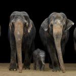 Fotografiar elefantes en un estudio de fotografía