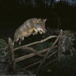 Retiran el premio al fotógrafo español de la instantánea del lobo ibérico